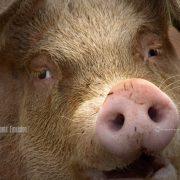 Inspiration, Mojo, Pig, Pig Face